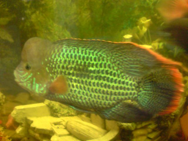 Vente poissons americain petites annonces forum for Vente aquariophilie