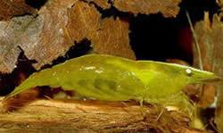Caridina babaulti (Caridina ceylanica)
