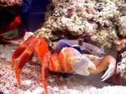 Crabe arc-en-ciel