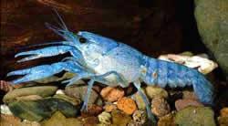 Procambarus alleni (Ecrevisse bleue)
