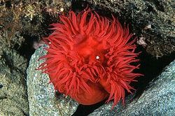 Actinia equina (Tomate de mer ou actinie rouge)