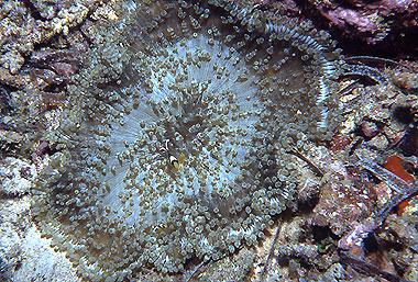 Heteractis aurora (Anémone de mer)