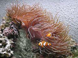 Heteractis magnifica (Anémone de mer)