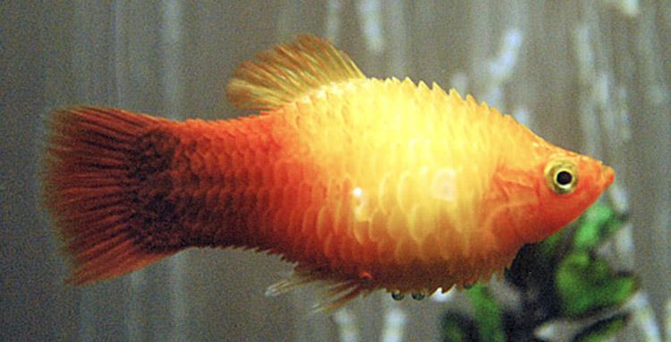 Hydropisie - Le poisson grossit de plus en plus, écailles hérissées.
