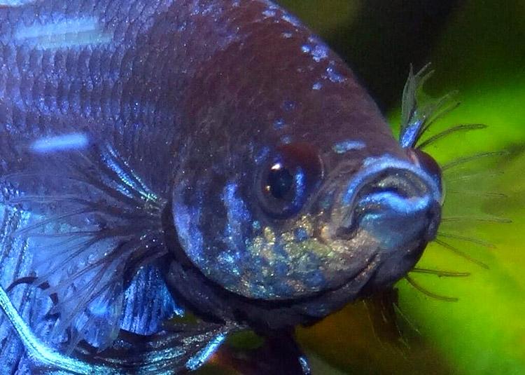 Maladie du velours - Apparition soudaine de petits points granuleux et jaunâtres bien visibles de face.