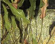 Cryptocoryne wendtii