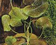 Nymphoides aquatica
