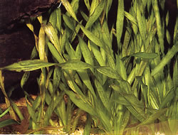 Vallisneria spiralis