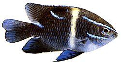 Abudefduf oxyodon (Diable à raies bleues)