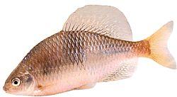 Acanthorhodeus atranalis (Bouvière du Japon)