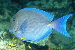 Acanthurus coeruleus (Chirurgien bleu)