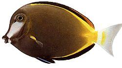 Acanthurus Japonicus (Poisson chirurgien du Japon)