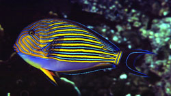 Acanthurus Lineatus (Chirurgien rayé)
