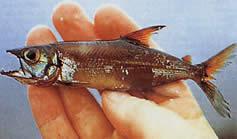 Acestrorhynchus microlepis (Characin-chien à petites écailles)