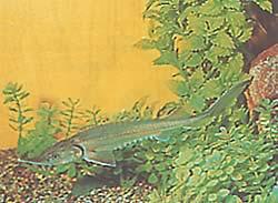 Acipenser baeri (Esturgeon de Sibérie)
