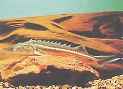 Acipenser nudiventris (Esturgeon de rivière, à ventre lisse)