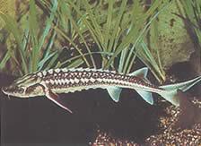 Acipenser sturio (Esturgeon)
