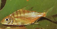 Acnodon normani (Pacou de Norman, pacousi)