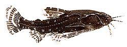Agamyxis pectinifrons (Silure peige)