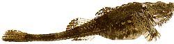 Agonus cataphractus (Souris de mer)