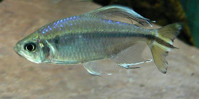 Alestopetersius caudalis (Alestopetersius caudalis)