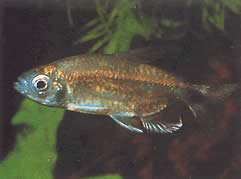 Alestopetersius smykalai (Tétra-diamant bleu)