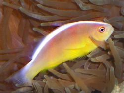 Amphiprion akallopisos (Poisson-clown sans parure)