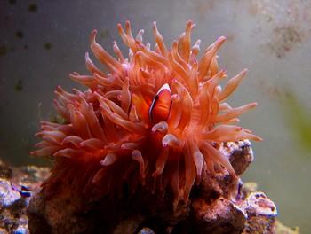 Amphiprion frenatus (Clown rouge)