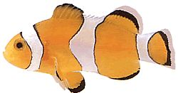 Amphiprion ocellaris (Poisson-clown à trois bandes)