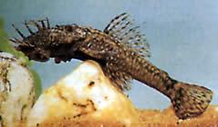 Ancistrus dolichopterus (Ancistrus)