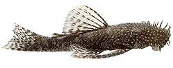 Ancistrus temmincki (Silure bleu)