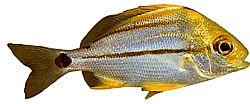 Anisotremus virginicus (Poisson-porc)