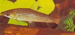 Anostomus plicatus (Anostomus clair à trois points)