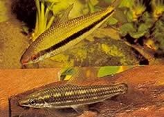 Anostomus taeniatus (Anostomus cuivre)