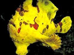 Antennarius maculatus (poisson-crapaud, poisson-pêcheur ou antennaire)