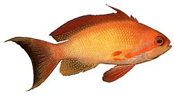 Anthias squamipinnis (Barbier rouge)