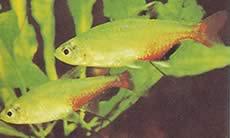 Aphyocharax rathbuni (Tétra rubis)