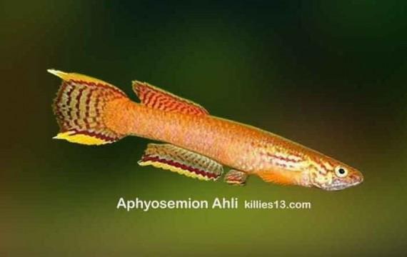 Aphyosemion ahli (Aphyosemion ahli)