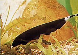 Apteronotus albifrons (Poisson-couteau américain - Aussi appelé Black Pha)