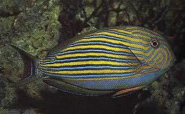 Aspisurus lineatus (Chirurgien rayé)