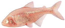 Astyanax fasciatus mexicanus (Tétra aveugle)