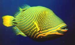 Balistapus undulatus (Baliste ondulé)