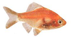 Barbus tetrazona rouge sumatra rouge poisson d for Poisson tetra rouge