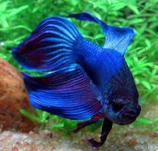 Betta splendens crownmoon (Combattant)