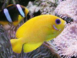 centropyge flavissimus holacanthe jaune poisson d 39 aquarium d 39 eau eau de mer chaude. Black Bedroom Furniture Sets. Home Design Ideas