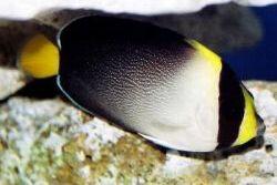Chaetodontoplus mesoleucus (Poisson-ange vermiculé)