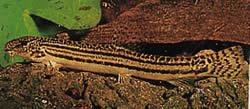 Cobitis taenia (Loche de rivière)