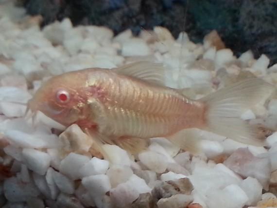 Corydoras aeneus albinos corydoras albinos poisson d for Nettoyeur aquarium poisson