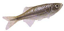 Danio aequipinnatus (Danio malabar, Danio géant)