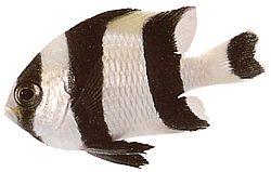 Dascyllus melanurus (Demoiselle à queue noire)